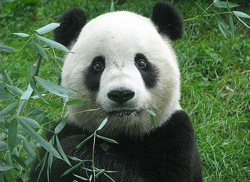 Китай панда мягкая сила